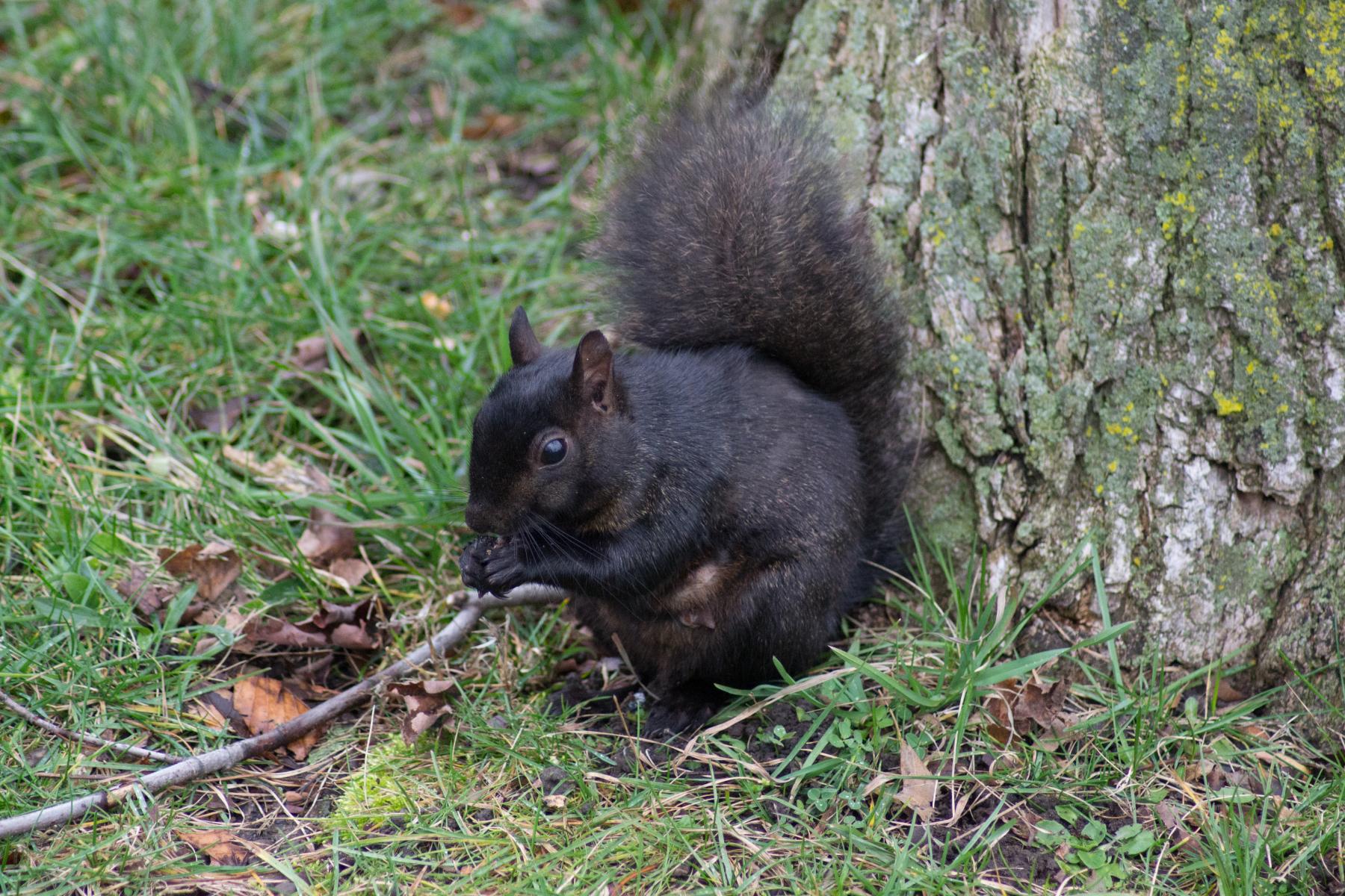 Black-Squirrel
