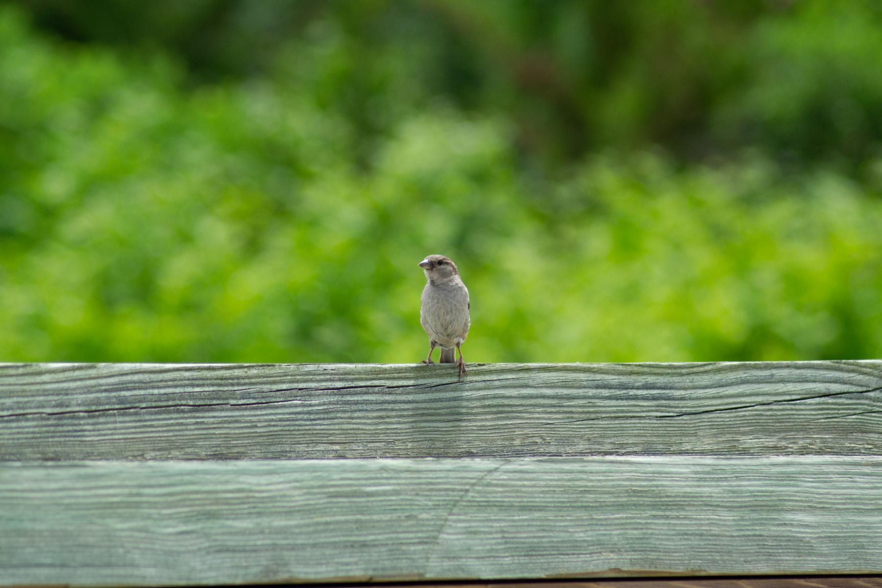 Bird-on-Fence